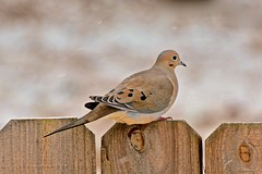 Mourning Dove (deanrr) Tags: snow snowybackground morgancountyalabama alabama nature outdoor fence bird feathers mourningdove dove winter winter2018 bokeh backyardbird eyering blueeyering