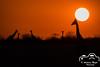 Giraffen zum Sonnenuntergang (Fotofreak479) Tags: oktober 2017 07 giraffe etosha namibia romantisch wildlife safari africa afrika beautiful romantic
