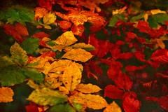 Leves ... (Julie Greg) Tags: leaves nature park autumn colours texture canon