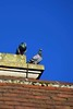 Pigeons (nickym6274) Tags: abingtonpark northampton uk park pigeons roof sky