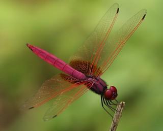 Trithemis aurora (Crimson Dropwing) Male