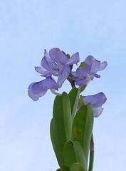 Vanda coerulea species orchid 1-18 (nolehace) Tags: winter nolehace flower bloom plant sanfrancisco fz1000 118 vanda coerulea species orchid