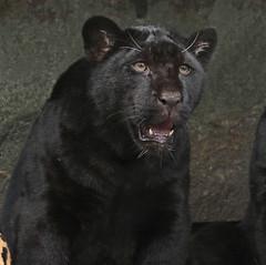 jaguar artis BB2A8993 (j.a.kok) Tags: jaguar jaguarcub jaguarwelp pantheraonca zwartejaguar blackjaguar rica artis animal southamerica zuidamerika mammal zoogdier dier kat cat predator