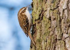 Treecreeper ( Certhia familiaris ) (Dale Ayres) Tags: treecreeper certhia familiaris bird nature wildlife