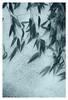 Bamboo (Robert Drozda) Tags: portland oregon pdx bamboo botanical snow ice winter christmasday drozda