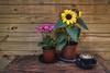 Garden Cafe (S♡C) Tags: cafe cafeonceuponatime flower sunflower kalanchoe coffee cappuccino garden gardencafe stilllife