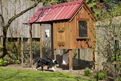 52311CH-124 (ClassenDesign, LLC) Tags: backyardchickens chickencoop hens