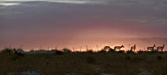 Antelope Morning (Chamblin1) Tags: antelope sunrise pasture country landscape wildlife winter colorado