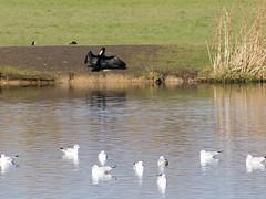 Cormorant among the gulls (Gill Stafford) Tags: gillstafford gillys image photograph wales bird cormorant pentremawr park gulls pond