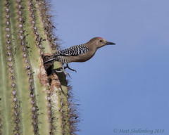Gila Woodpecker (Matt Shellenberg) Tags: gila woodpecker gilawoodpecker saguaro catctus desert arizona