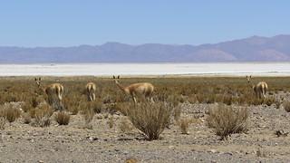 Huanacos in Salinas Grandes. Argentina