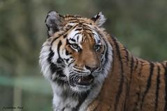 Tigre de Sibérie (Passion Animaux & Photos) Tags: tigre siberie siberian tiger panthera tigris altaica zoo jurques france