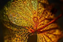 All Wet (Alfred Grupstra) Tags: leaf nature plant closeup macro autumn backgrounds greencolor beautyinnature season yellow freshness summer vibrantcolor red botany multicolored colors pattern bright hydrangea