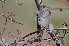 Sharp-shinned Hawk (jlcummins - Washington State) Tags: bird sharpshinnedhawk home yakimacanyon washingtonstate tamronsp150600mmf563divcusd wildlife fauna nature