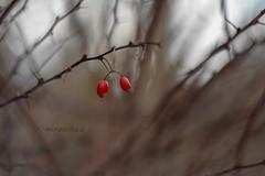 Lonely twins. (agnieszka.a.morawska) Tags: berberis nature macro winter helios44m helios44 helios bkhq beyondbokeh bokehlicious dof bokeh