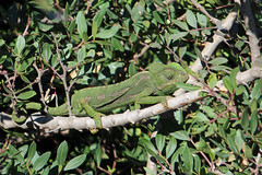 Mediterranean Chameleon (Chamaeleo chameleon) (Sky and Yak) Tags: mediterranean chameleon chamaeleo lizard dragon reptile spain herp andalusia andalucian scales naturalworld nature tongue colour camouflage