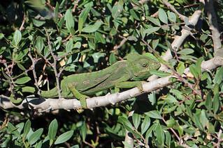 Mediterranean Chameleon (Chamaeleo chameleon)