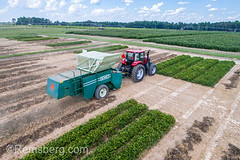 Aerial view of combine harvester driving up row to collect dried peanuts, Tifton, Georgia. . (Remsberg Photos) Tags: farm georgia peanuts tifton peanutplant groundnut goober arachishypogaea legume crop nut outdoors thesouth southerncrop americansouth field southern plant harvesting harvester collect intake machinery equipment agricultureequipment agriculture blueskies tractor digging aerial drone rows mechanical combineharvester usa