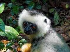 Big eyes (LeftCoastKenny) Tags: madagascar day14 andasibe andasibenationalpark lemur clearing rainforest