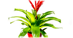 Bromeliad. . . (CWhatPhotos) Tags: cwhatphotos digital camera pictures picture image images photo photos foto fotos that have which contain olympus penf lens flower flowering leaf duds bromeliad plant potting house color colour green red colors colours