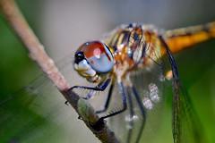 Eye to Eye (donjuanmon) Tags: lessthananinch donjuanmon nikon macro macromondays hmm dragonfly eye red blue green nature