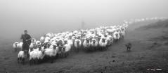 Una fila interminable en la niebla (Jabi Artaraz) Tags: jabiartarazjartaraz zb euskoflickr rebaño artaldea ardiak ovejas niebla gorbea sheep nature montaña mendia