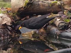 black bird (Simon Dell Photography) Tags: lack bird pond water reflection pool simon dell photography sheffield s12 shirebrook valley winter autumn nature wildlife wild animal england english country garden rspb