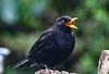 Wassupppp! (Paul Wrights Reserved) Tags: blackbird singing birdsinging bird birding birds birdphotography birdwatching shout shouting bokeh open beak