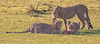 CHEETAHS ON A KILL (gazza294) Tags: cheetah masaimara kenya naturetrek flicker flickr flckr flkr flickrexplore gazza294 garymargetts