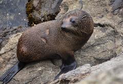Cute Fur Seal (M J Adamson) Tags: furseals seals mammals marinemammals katikipoint moeraki northotago nz newzealand nature