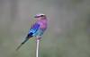 Lilac Breasted Roller (ashockenberry) Tags: roller bird lilac breasted nature wildlife wildlifephotography naturephotography africa african beautiful tarangire tanzania safari ashleyhockenberryphotography