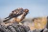 Galapagos Hawk - Juvenile 500_3515.jpg (Mobile Lynn) Tags: birdsofprey wild birds galapagoshawk nature bird birdofprey buteogalapagoensis fauna raptor wildlife puntasuarezespanolaisland galapagosislands ecuador ec coth specanimal coth5 ngc npc