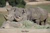 Southern White Rhino (ToddLahman) Tags: southernwhiterhino rhino beautiful mammal outdoors lunch sandiegozoosafaripark safaripark canon7dmkii canon canon100400 closeup kilimapoint