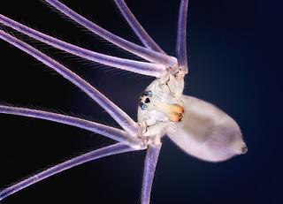 Cellar Spider ♀
