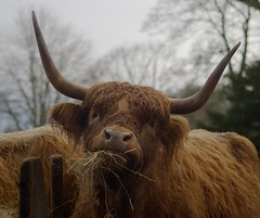 Highland Cattle (liam.ragan) Tags: animal wildlife nature creature alive life cattle cow highlandcattle highlandcow scotland scottish scottishcow hairy shaggy horns