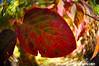 Autumn Leaf (jgbirdmangrossinger) Tags: leaf red 2121 joegrossinger