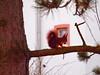 BREAKFAST P1141465 (hans 1960) Tags: eichhörnchen squirrel red baum tree ast tanne nature natur farben colour nuss nadeln haus fenster house ror frühstück breakfast walnuss nut winter 2018 januar germany deutschland