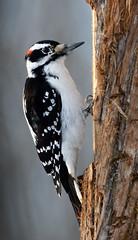 221122 (rick2907) Tags: hairy woodpecker