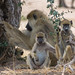 African Safari. Baboon family.