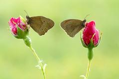 Last Roses for Butterflies... (Zbyszek Walkiewicz) Tags: butterflies butterfly roses closeup sony coth5