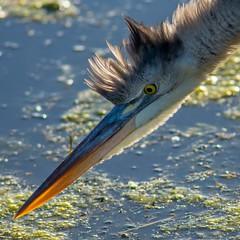 D72_0405 (mcpiano1) Tags: floride2018 oiseaux