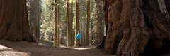 In the Land of Giants (OJeffrey Photography) Tags: sequoianarionalpark snp giantsequoia trees forest ca california panorama pano nikon d850 ojeffreyphotography ojeffrey jeffowens