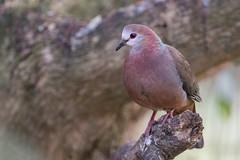 Paloma Caripálida (ik_kil) Tags: aplopelialarvata palomacaripálida lemondove dove columbalarvata wildernessnationalpark westerncape southafrica