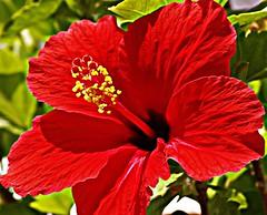 Hibisco (portalealba) Tags: hibisco flores portalealba red rojo pentax pentaxk50 nature 1001nights 1001nightsmagiccity