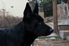 DSC_0285 (Charlotte Hoberg) Tags: german shepherd belgian malinois mondioring ipo schutzhund dog dogs cute training black fawn while rottweiler pit bull boxer lab labrador