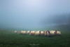 Oveja Latxa (Mimadeo) Tags: sheep flock livestock grazing eating farm field grass agriculture lamb white farming meadow countryside animal rural pasture green farmland woolly herd outdoors group shepherd latxa basquecountry basque fog foggy mist misty morning copyspace
