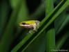 Eastern Sedge frog - Litoria fallax (paulajie) Tags: eastern sedge frog litoria fallax fauna wildlife nature animal australia olympus omd omdem1markii tropical queensland