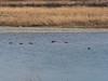 Ducks on Yasugawa (Greg Peterson in Japan) Tags: birds shiga yasugawa wildlife moriyama unknown 野鳥 ducks 野洲川 守山市 rivers japan 滋賀県 shigaprefecture