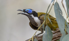 in the river red gums - a blue-faced honeyeater #2 (Fat Burns ☮) Tags: bluefacedhoneyeater entomyzoncyanotis bird australianbird fauna australianfauna nikond500 sigma150600mmf563dgoshsmsports barcaldine aliceriver nature outdoors honeyeater queensland australia