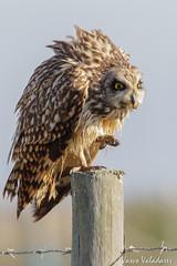 Coruja-do-nabal, Short-eared Owl (Asio flammeus) (valadares.vasco) Tags: corujadonabal shortearedowl asioflammeus